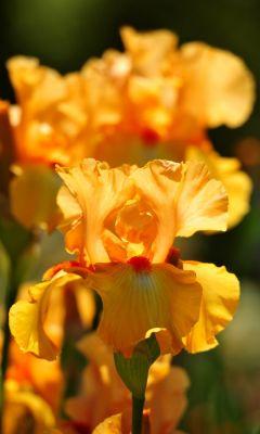 Beautiful Irises Flowers