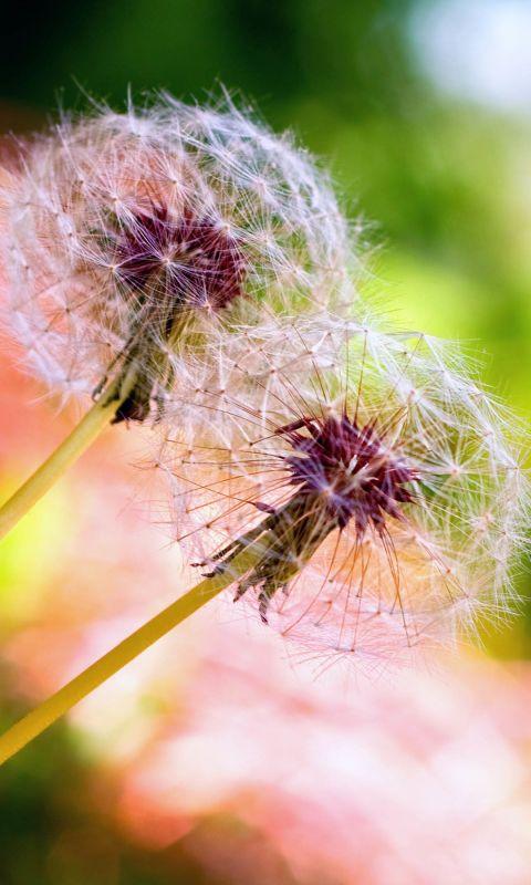 Beautiful Wild Dandelion Flower