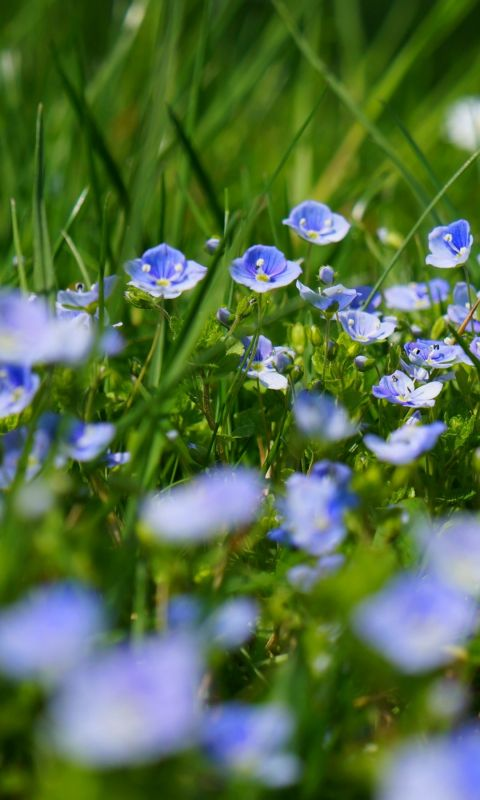 Chamaedrys Flowers