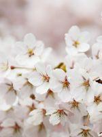 Bloom Cherry Blossom