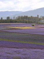 Lavender Farm Oak Tree Beautiful Purple Bridestowetasmania Travel  K Ultra Hd Wallpapers     X