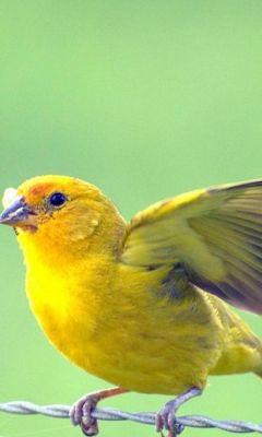Yellow Bird  Picture Beautiful         X
