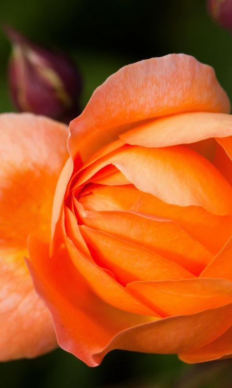 Beautiful Orange Rose Flowers Macro Photography Top Uhd  K Wallpapers     X