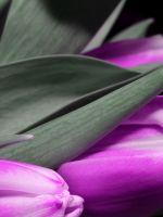 Tulip Black Dark Purple