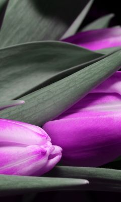 Tulip Black Dark Purple