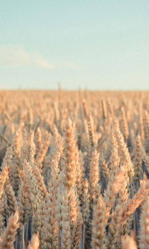 Nature Rye Field Farmland wallpaper