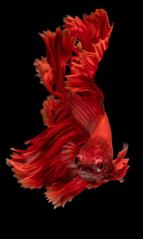 red Siamese fighting fish wallpaper