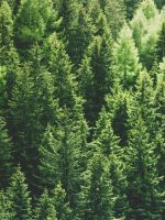 green pine trees in forrest wallpaper