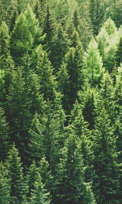 green pine trees in forrest wallpaper