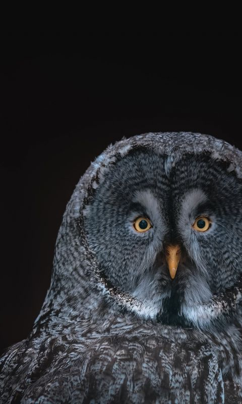 gray owl on black background wallpaper