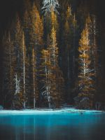 green pine tress and body of water wallpaper