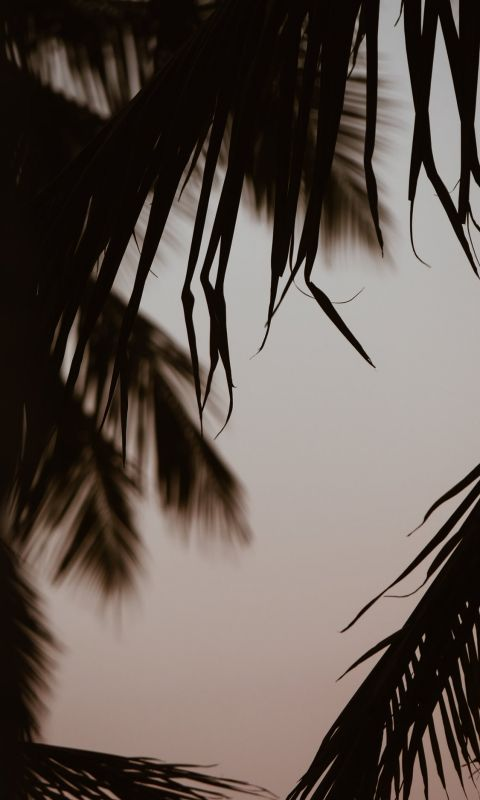 silhouette of coconut trees wallpaper