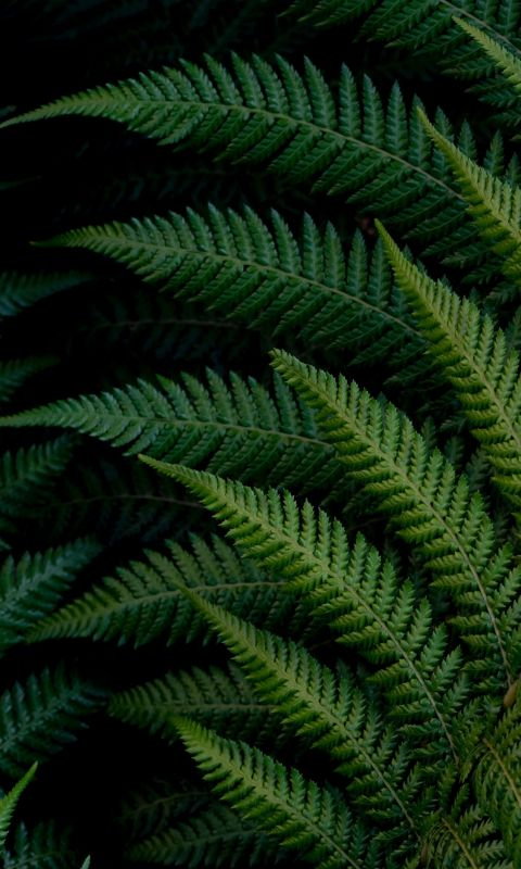 green fern plant wallpaper
