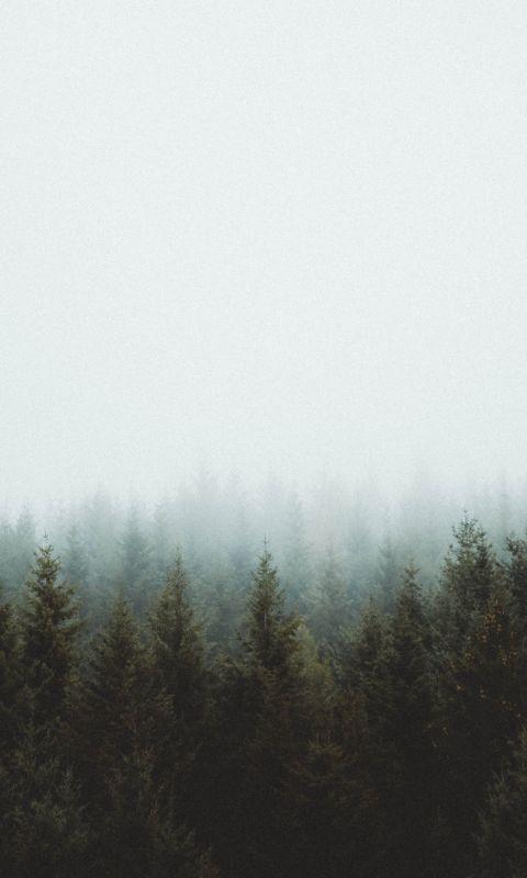 photo of pine trees wallpaper