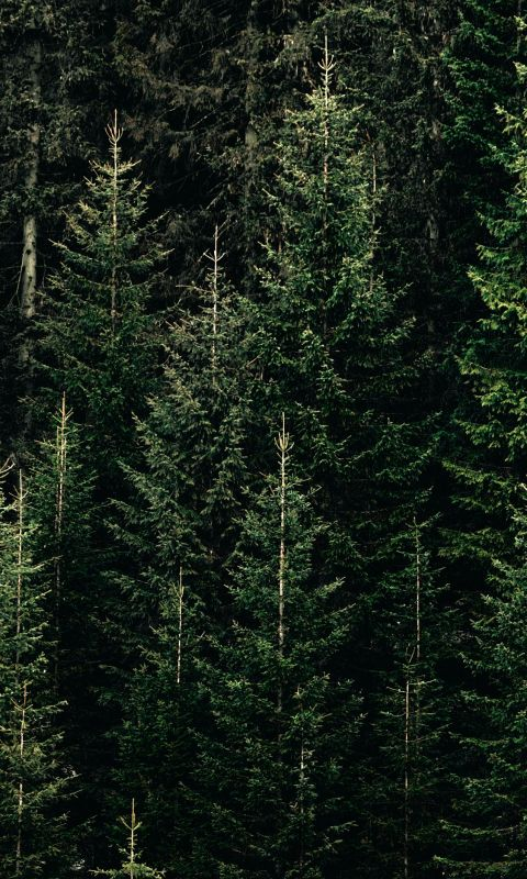 green forest with pine trees wallpaper