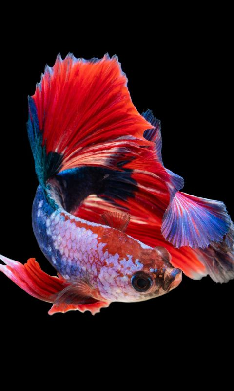 red and silver guppy fish wallpaper