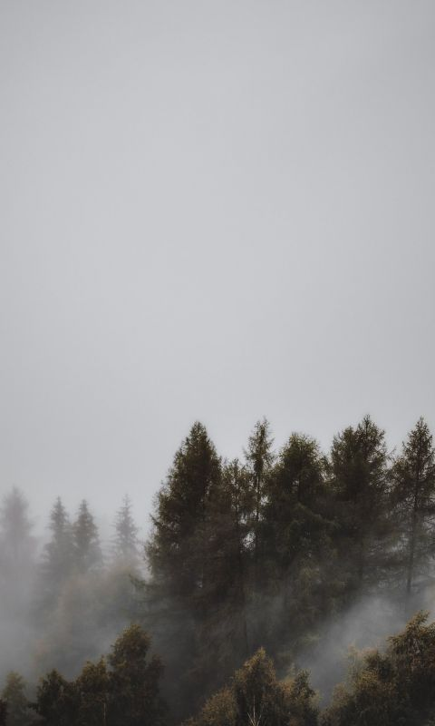 fogs and pine trees wallpaper