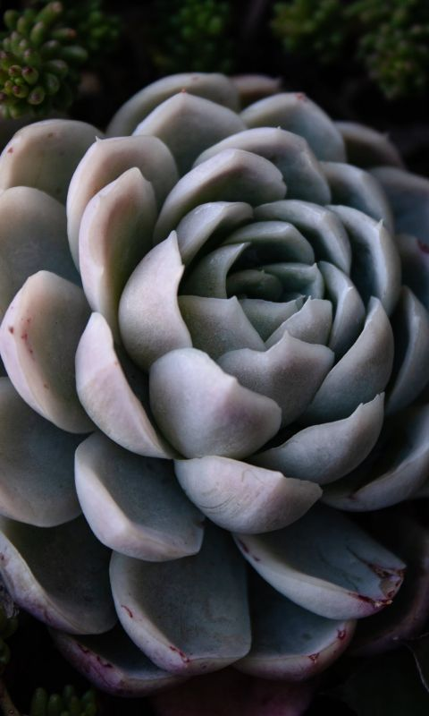 green succulent wallpaper