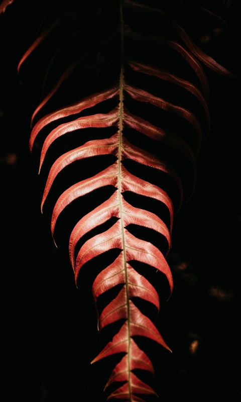 red leaf on black background wallpaper