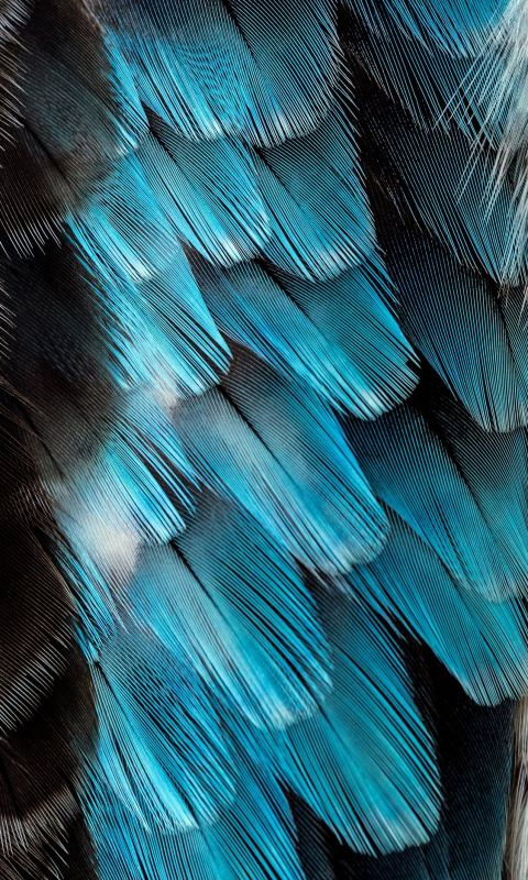 black and blue feather wallpaper