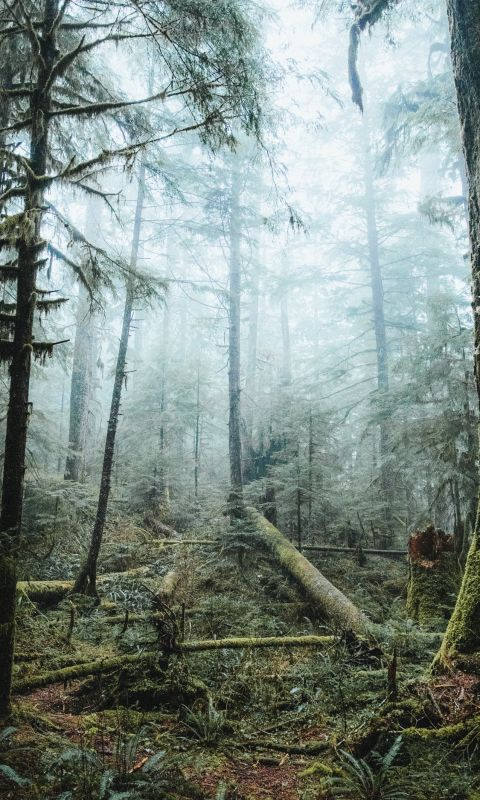 tall trees covered with fog wallpaper