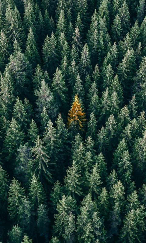 aerial photo of pine trees wallpaper