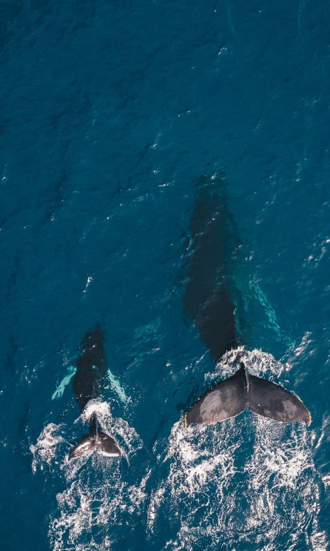 two black whales swimming in body of water wallpaper