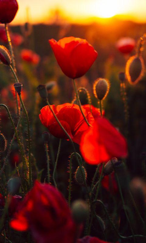 red petaled flower bloom during daytime wallpaper