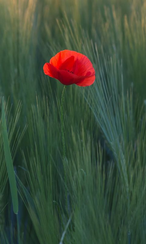 red flower in the middle of green grasses wallpaper
