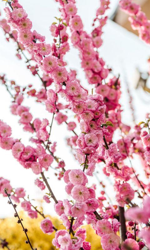 pink flowers in tilt shift lens wallpaper