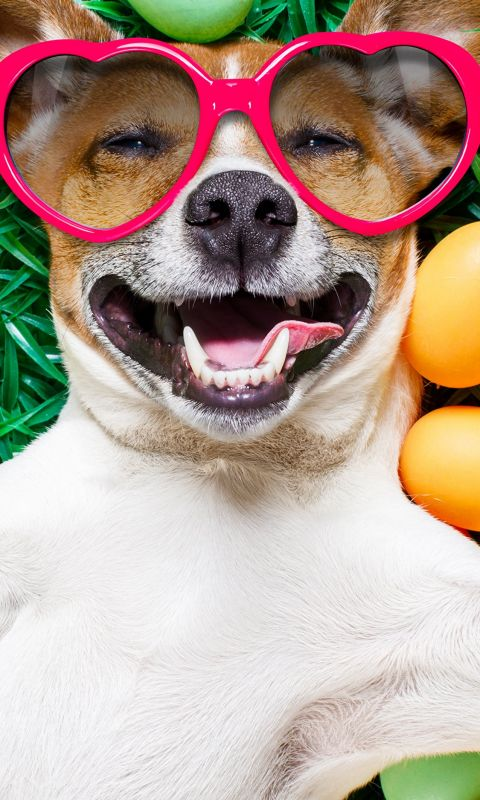 Images Easter Jack Russell terrier Dogs Smile Funn... wallpaper