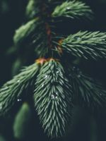 shallow focus photography of green spruce tree wallpaper