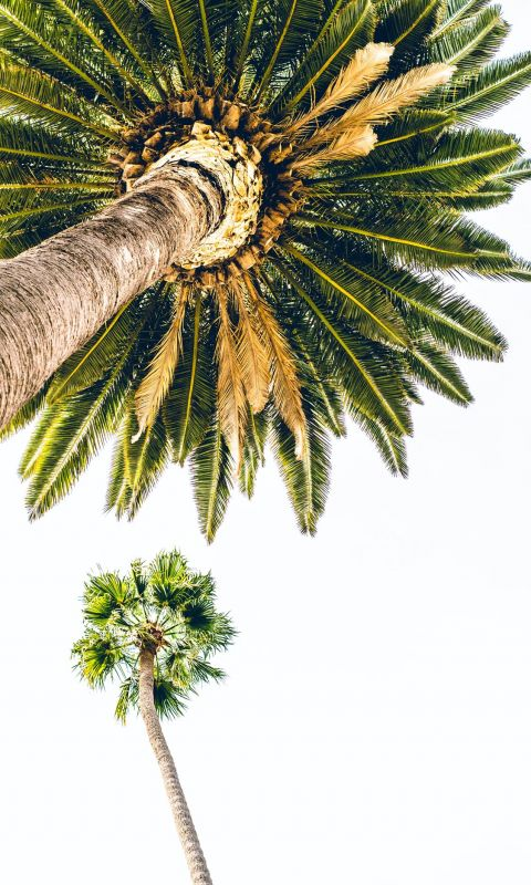 green palm tree under white sky wallpaper
