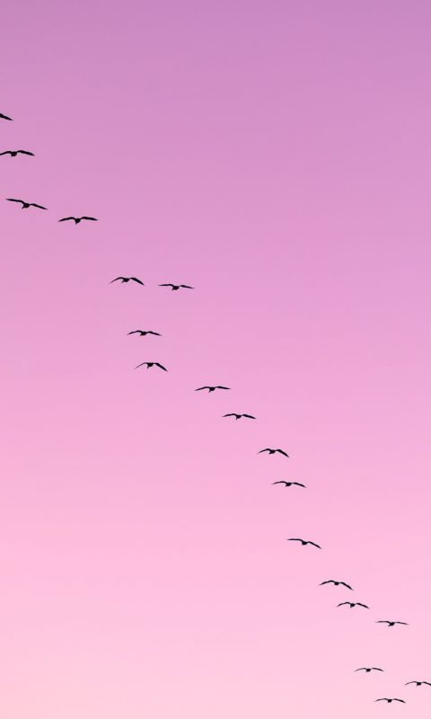 flock of birds flying wallpaper