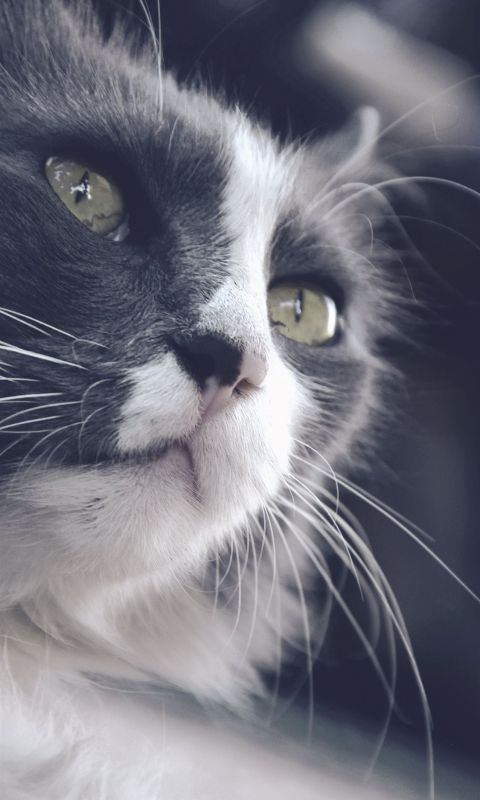 Close Up Photography Of Black And White Cat Hd Gat... wallpaper