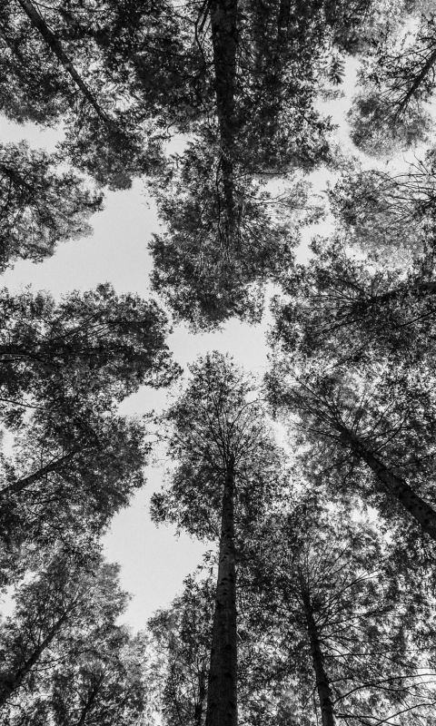 worm view photography of trees wallpaper