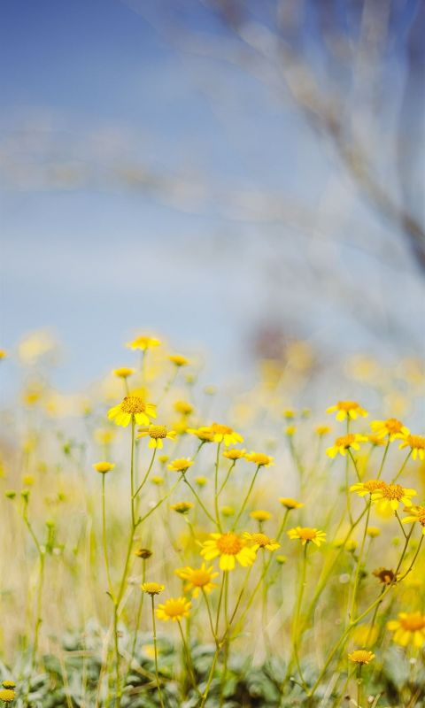yellow flower field under blue sky during daytime wallpaper